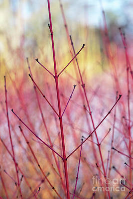 Photograph - Dogwood Midwinter Fire Stems by Tim Gainey