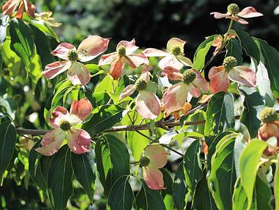 Photograph - Dogwood by Paul Meinerth