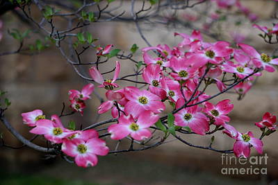 Photograph - Dogwood Series by Brenda Bostic