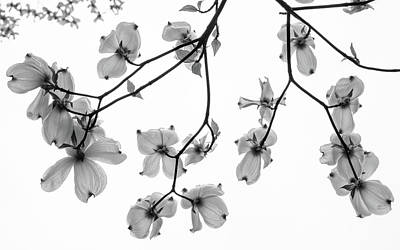 Photograph - Dogwood Sky by Glenn DiPaola