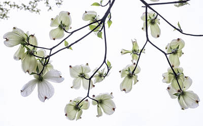 Photograph - Dogwood Sky Light by Glenn DiPaola