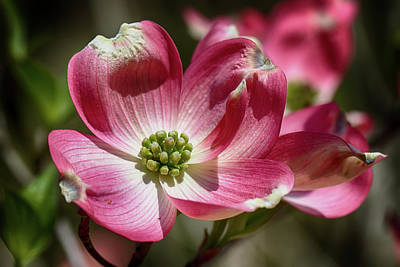 Photograph - Dogwood Spring by John Haldane