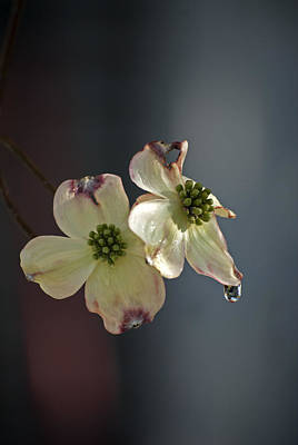 Photograph - Dogwood Tear by Elsa Marie Santoro