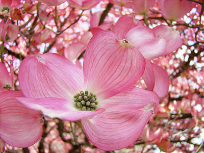 Dogwood Tree 1 Pink Dogwood Flowers Artwork Art Prints Canvas Framed Cards Print by Baslee Troutman
