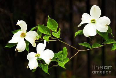 Photograph - Dogwood Tree Flower Blossom by Vizual Studio