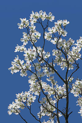Photograph - Dogwood Tree In Spring by Tom Mc Nemar