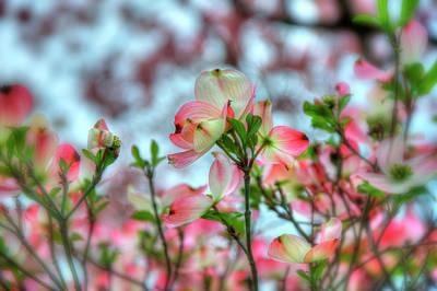 Photograph - Dogwood Tree - Spring Bloom by Joann Vitali