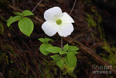 Photograph - Dogwood by Vincent Bonafede