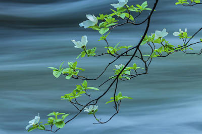 Photograph - Dogwoods By The Current by Jonathan Nguyen