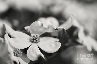Photograph - Dogwoods In Black And White by Lois Bryan