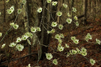Photograph - Dogwoods In The Spring by Mike Eingle