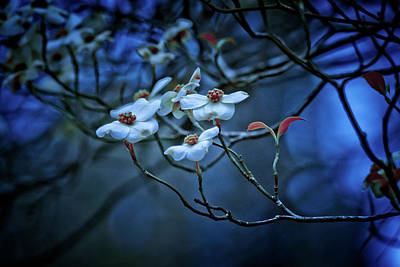 Photograph - Dogwoods by Linda Unger