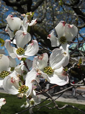 Photograph - Dogwoods On The Green by Georgia Hamlin