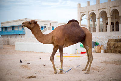 Photograph - Doha Police Camel by Paul Cowan