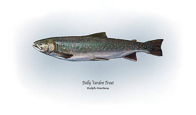Trout Drawing - Dolly Varden Trout by Ralph Martens