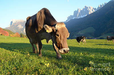 Photograph - Dolomites Mountain Cow Close-up by IPics Photography
