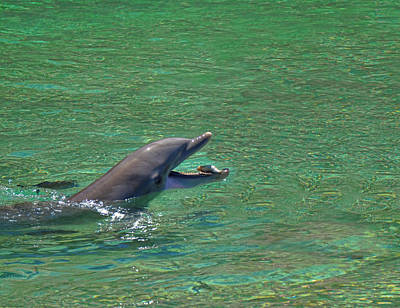 Photograph - Dolphin Catches The Fish by Pamela Walton
