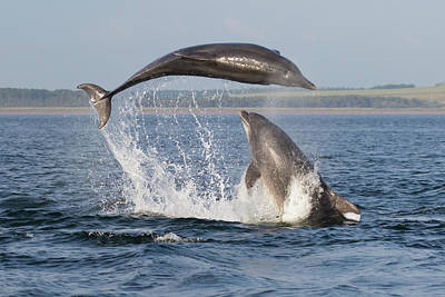 Photograph - Dolphins Having Fun by Karen Van Der Zijden