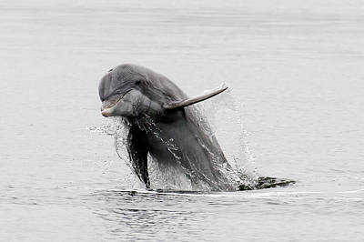 Photograph - Dolphin Jumper by Phil Stone