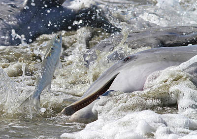 Photograph - Dolphin Strand Feeding 2 by Kevin McCarthy