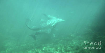 Photograph - Dolphin Swim by Francesca Mackenney