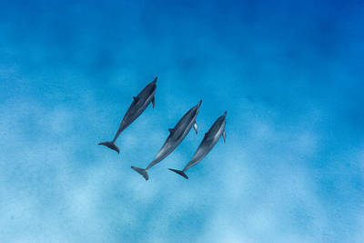Dolphin Trio Art Print by Sean Davey