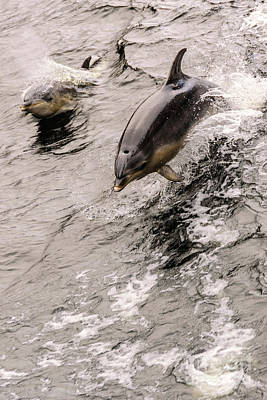 Photograph - Dolphins by Werner Padarin