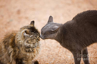 Longhair Cats Photograph - Domestic Cats In Namibia by Gerard Lacz