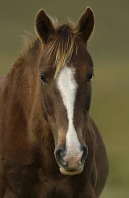 Domestic Horse Equus Caballus Portrait Art Print
