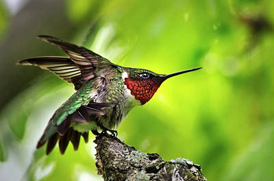 Photograph - Dominant Hummingbird Pose by Christina Rollo