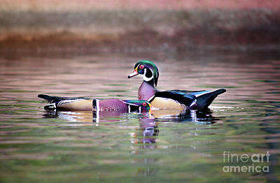 Photograph - Dominant Wood Duck by Robert Frederick