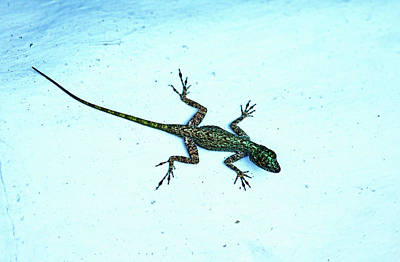 Photograph - Dominican Anole by Debbie Oppermann