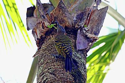 Photograph - Dominican Woodpecker by Debbie Oppermann