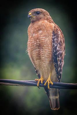 Photograph - Dominique The Hawk by Michael Sussman
