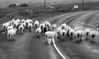 Photograph - Donegal Traffic Jam - Sheep by Lexa Harpell