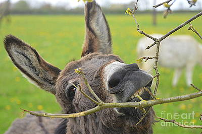 Photograph - Donkey by Andy Thompson