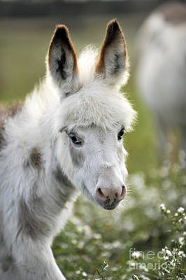 Miniature Donkey Photograph - Donkey Baby by Carien Schippers