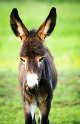 Donkey Photograph - Donkey Ears by Shelby Young