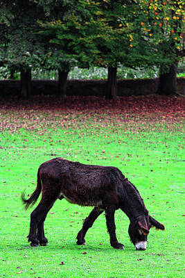 Photograph - Donkey by Edgar Laureano