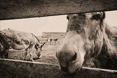Photograph - Donkey Face by Karl Anderson