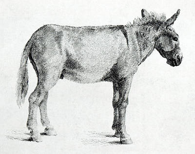 Horse Drawing - Donkey by George Stubbs