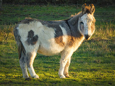 Photograph - Donkey by Jean Noren