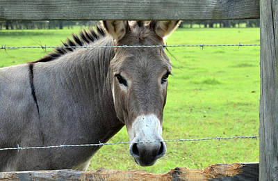 Photograph - Donkey by Larah McElroy