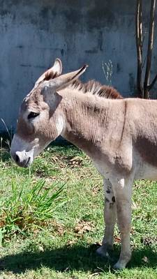 Photograph - Donkey Neighbor by Margaret Brooks