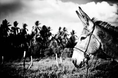 Photograph - Donkey by Nik West