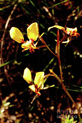 Photograph - Donkey Orchids by Cassandra Buckley