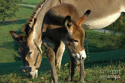 Donkey With Foal Print by Thomas R Fletcher