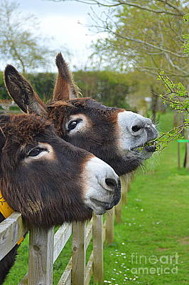 Photograph - Donkeys by Andy Thompson
