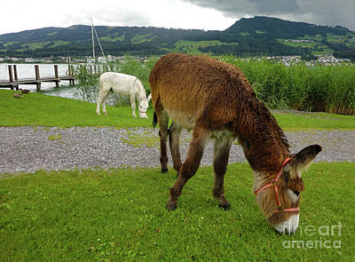 Photograph - Donkeys On Ufrenau Island, Switzerland by Gregory Dyer