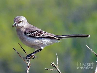 Abstract Sailboats - Dont Mess With Me - Northern Mockingbird by Cindy Treger